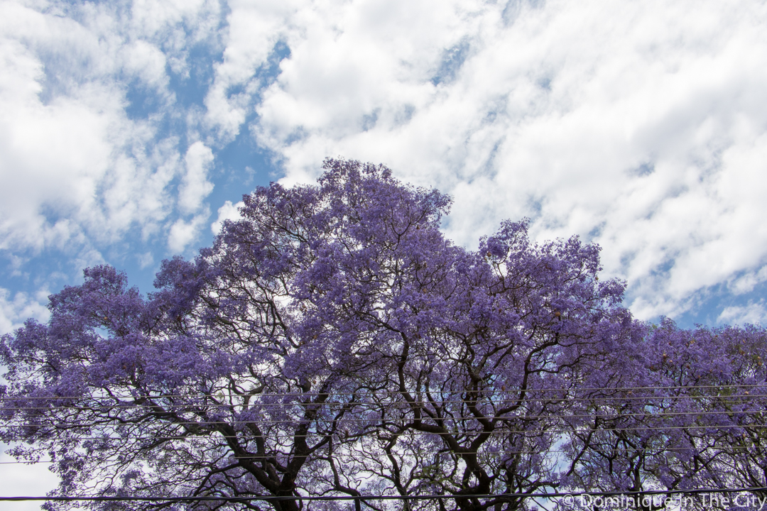 dominique-in-the-city-jacaranda-1