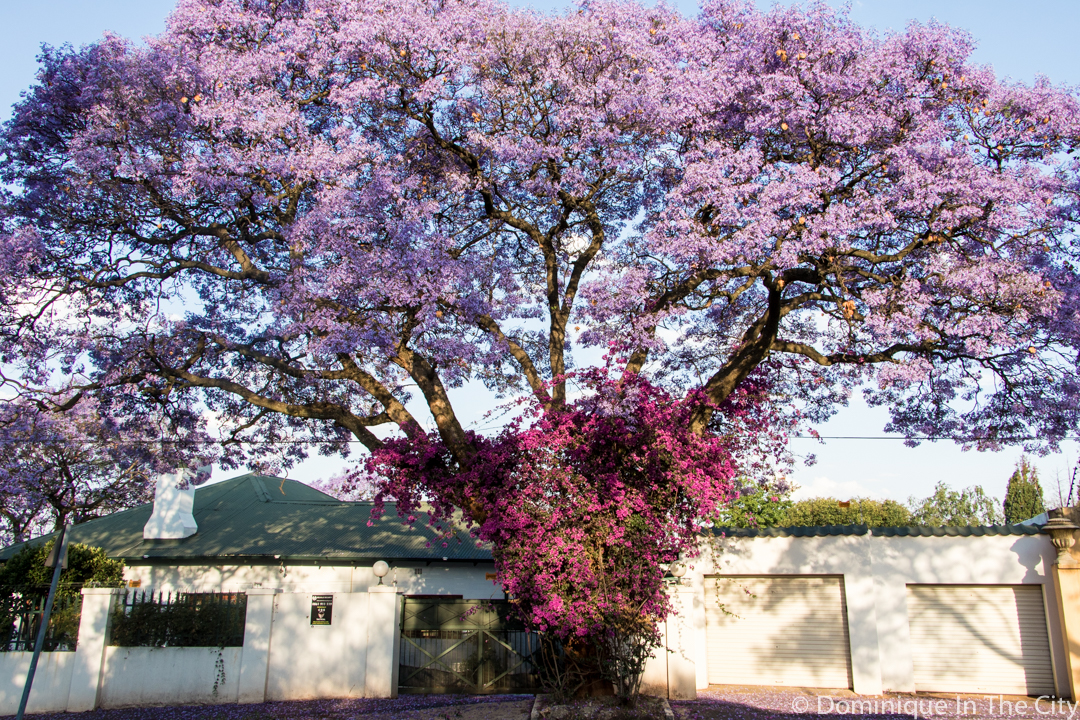dominique-in-the-city-jacaranda-14