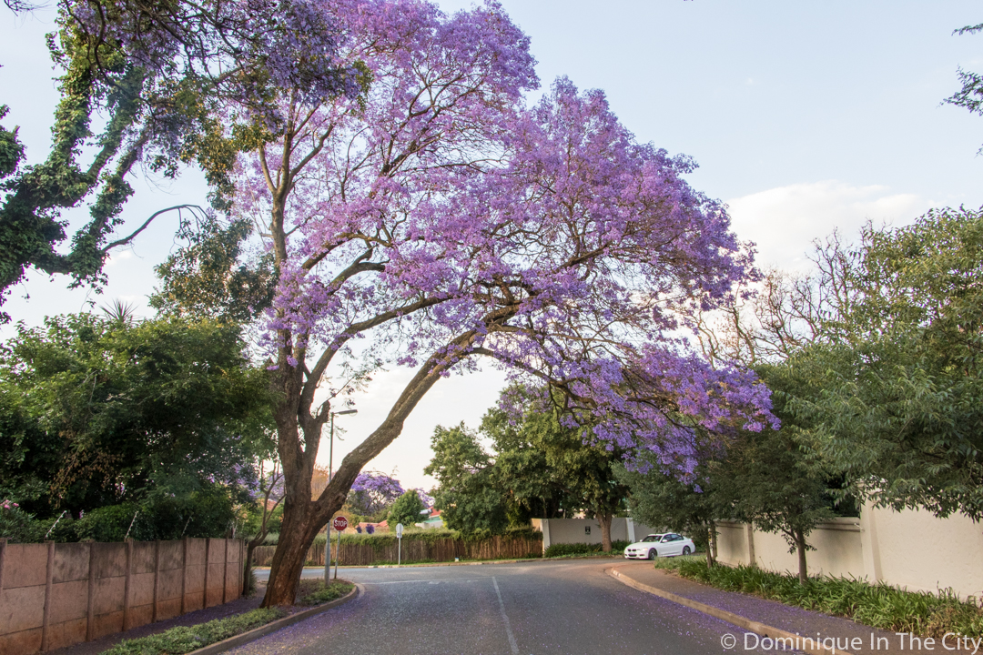 dominique-in-the-city-jacaranda-20