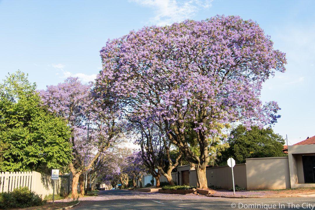 dominique-in-the-city-jacaranda-5